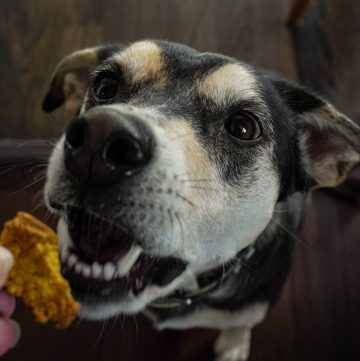 oatmeal and pumpkin dog treats being fed to dog